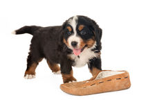 Doggy with slipper Royalty Free Stock Photography