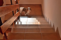Doggy on Stairs. Staircase under sunlight with a charming dog Cavalier King Charles Spaniel downstairs Royalty Free Stock Photo
