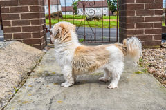 Doggy standing outside in front of the door stock photo