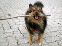 Doggy stick. Shetland Sheepdog (Sheltie) plays with stick Royalty Free Stock Photography
