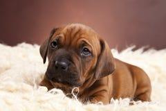 Doggy sveglio che riposa sulla coperta bianca fotografia stock