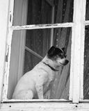 Doggy in the window. Black and white snapshot of a little dog sitting behind a closed window. The window is old and the glass is uneven Royalty Free Stock Photos