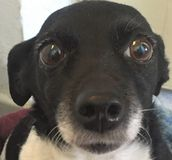 Doggy z ekspresyjnymi zawinionymi oczami fotografia stock