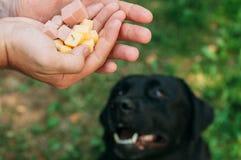 Doghunter: de mens geeft hondevoer met spijkers Stock Afbeelding