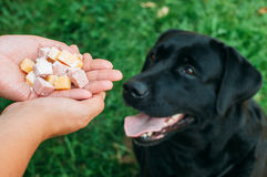 Doghunter: man gives dog poisoned food Stock Photography