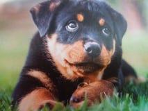 Dogis 免版税库存照片