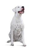 Dogo adulte se reposant Argentino Photo stock