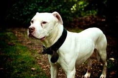 Dogo americano blanco Imagenes de archivo