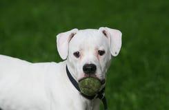 Dogo americano con la pelota de tenis Imágenes de archivo libres de regalías