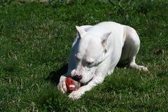 Dogo Argentina/bola de rugbi Foto de archivo libre de regalías