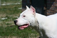 Dogo Argentine. Portrait Of Dogo Argentine / Ears cut Stock Photography