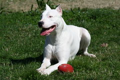 Dogo Argentine With Rugby Ball. Nice Dogo Argentine With Rugby Ball In The Green Field Stock Photos