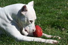 Dogo Argentine with Rugby Ball. Nice Dogo Argentine With Rugby Ball In The Green Field Royalty Free Stock Photos