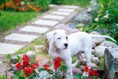 年轻dogo argentino在庭院里 免版税库存图片