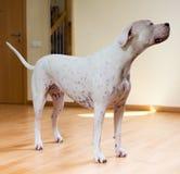 Dogo Argentino που στέκεται στο πάτωμα Στοκ φωτογραφία με δικαίωμα ελεύθερης χρήσης