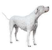 Dogo Argentino στάσης Στοκ εικόνες με δικαίωμα ελεύθερης χρήσης