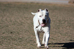 Dogo Argentino играя как раз подрезанные уши стоковая фотография