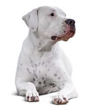 Dogo Argentino Над белизной Стоковая Фотография