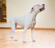 Dogo Argentino стоя на поле Стоковая Фотография RF