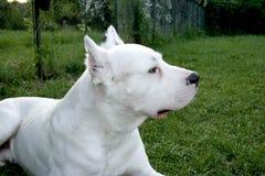 Dogo Argentino 1 Images stock