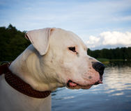 Free Dogo Argentino Stock Photography - 10208482