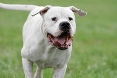 Dogo argentino. Frontal close-up of a running white dogo argentino dog royalty free stock photos