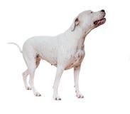 Dogo Argentino Image libre de droits