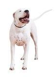 Dogo Argentino Photographie stock