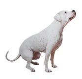 Dogo Argentino Arkivfoto