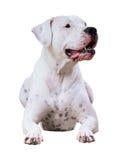Dogo Argentino 库存照片