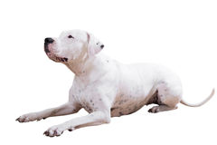 Dogo Argentino Imagen de archivo