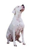 Dogo Argentino Στοκ φωτογραφία με δικαίωμα ελεύθερης χρήσης