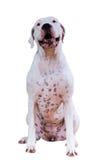 Dogo Argentino Στοκ εικόνες με δικαίωμα ελεύθερης χρήσης