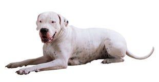 Dogo Argentino Fotografía de archivo
