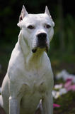 Dogo Argentino Stock Photo