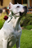 Dogo Argentino Royalty Free Stock Photos