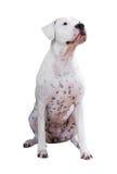 Dogo Argentino 图库摄影