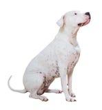 Dogo Argentino Obraz Stock