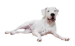 Dogo Argentino Stockfotos