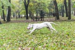 Dogo Argentino 免版税库存照片