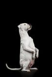 Dogo Argentino 免版税图库摄影