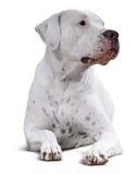 Dogo Argentino Au-dessus du blanc Photographie stock