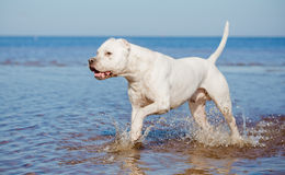 Dogo argentino on the beach. In summer stock photography