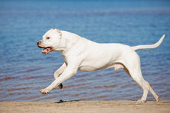 Dogo argentino on the beach. In summer royalty free stock images