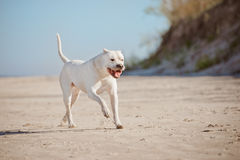 Dogo argentino on the beach Stock Photos