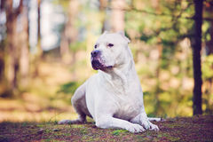 Dogo argentino dog. Dogo argentino lying down in the forest stock photography