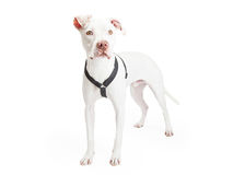 Dogo Argentino Dog Standing At An Angle Royalty Free Stock Photography