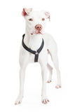 Dogo Argentino Dog Standing Looking Forward Stock Photo