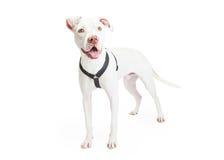Dogo Argentino Dog Standing Stock Photo