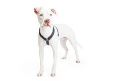 Dogo Argentino Dog Standing At An vinkel Royaltyfri Fotografi